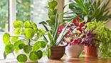 النباتات المنزلية مهمة لكنها في الحقيقة لا تقوم بتنقية الهواء